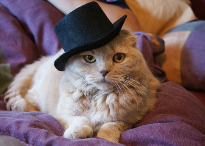 Cute pet cat in a hat, Goth top hat on Scottish Fold kitty.
